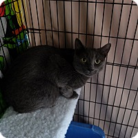 Domestic Shorthair Cat for adoption in New York, New York - Logan