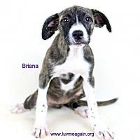 Adopt A Pet :: Briana - Needs Foster - Bloomington, MN