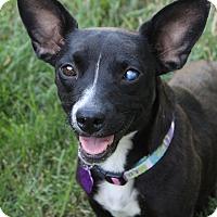 Dachshund/Cattle Dog Mix Dog for adoption in Red Bluff, California - Luna