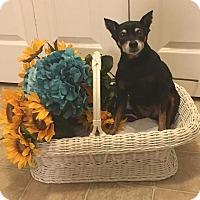 Adopt A Pet :: Gracie Min Pin - Springfield, MO