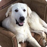 Adopt A Pet :: Stella - Plainfield, CT