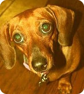 Dachshund Dog for adoption in Humble, Texas - Presly