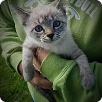 Adopt A Pet :: KK16 Uma - ADOPTION PENDING - Northville, MI