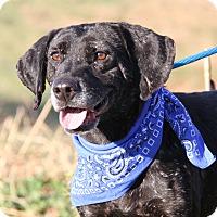 Labrador Retriever Mix Dog for adoption in Marietta, Ohio - Simpson (Neutered)-New Photos