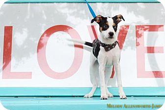 Beagle Mix Dog for adoption in Little Rock, Arkansas - Wally