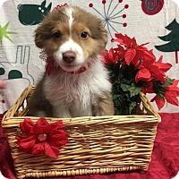 Adopt A Pet :: Mandy Sparkle Dust - Joliet, IL