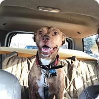 Adopt A Pet :: Rain - Eastpointe, MI
