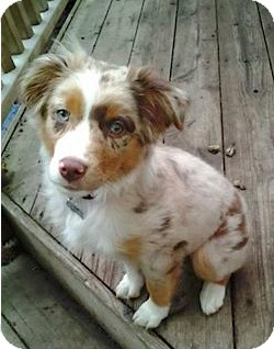 Australian Shepherd Puppy for adoption in Elk River, Minnesota - Chloe