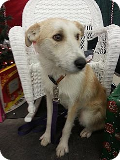 Golden Retriever/Terrier (Unknown Type, Medium) Mix Dog for adoption in Linton, Indiana - Rascal
