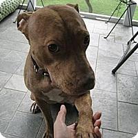 Adopt A Pet :: Rosepetal - Reisterstown, MD