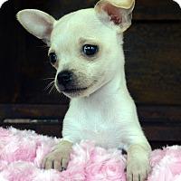 Adopt A Pet :: YoYo - Bridgeton, MO