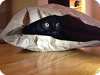 Domestic Shorthair Cat for adoption in Apex, North Carolina - Odessa