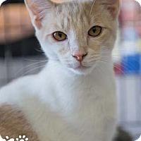 Adopt A Pet :: Fez - Merrifield, VA