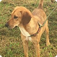 Adopt A Pet :: Triscuit - Hatifeld, PA