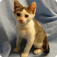 Adopt A Pet :: Prince - Bentonville, AR