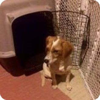 Beagle Mix Dog for adoption in Dumfries, Virginia - Buttercup