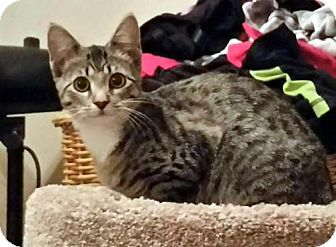 Ocicat Cat for adoption in Spring, Texas - Annie