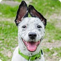 Adopt A Pet :: Happy - Houston, TX