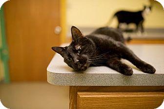 Domestic Shorthair Cat for adoption in Valley Falls, Kansas - Blackjack