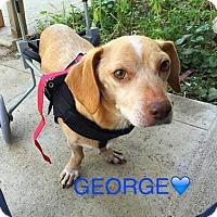 Beagle/Dachshund Mix Dog for adoption in Dana Point, California - George