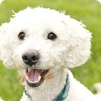 Poodle (Miniature) Mix Dog for adoption in Romeoville, Illinois - Rizzo