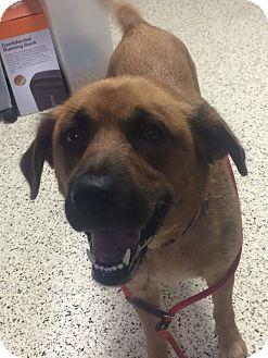 German Shepherd Dog Mix Dog for adoption in St. Louis, Missouri - Delilah - ADOPTION SPECIAL