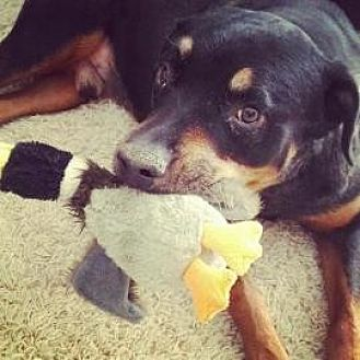Rottweiler Mix Dog for adoption in Scottsdale, Arizona - Sammy