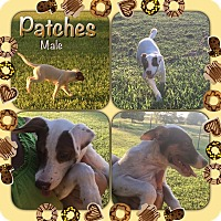 Adopt A Pet :: Patches in CT - Manchester, CT