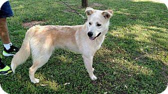 Husky/Labrador Retriever Mix Dog for adoption in Decatur, Alabama - CODY