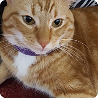 Domestic Shorthair Cat for adoption in Hallandale, Florida - Milo
