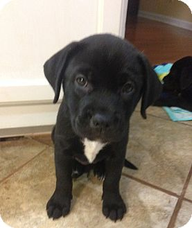 Labrador Retriever Mix Puppy for adoption in Chattanooga, Tennessee - Lilly