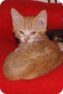 Domestic Shorthair Kitten for adoption in Salem, Oregon - Jason