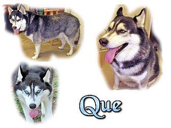 Siberian Husky Dog for adoption in Seminole, Florida - Que