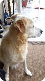 Labrador Retriever/Golden Retriever Mix Dog for adoption in Lehigh, Florida - Nicky