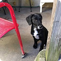 Golden Retriever/Collie Mix Puppy for adoption in Coopersburg, Pennsylvania - Fred