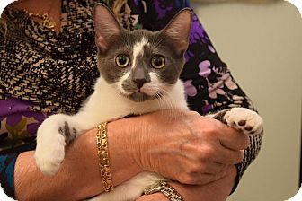 Domestic Shorthair Kitten for adoption in Huntington, New York - Truman