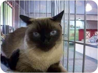 Siamese Cat for adoption in Oakland Park, Florida - Nya