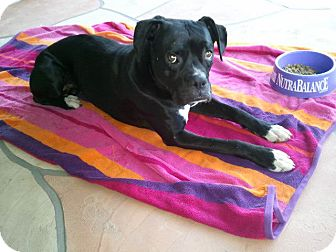 Boxer Dog for adoption in Scottsdale, Arizona - Baldwin