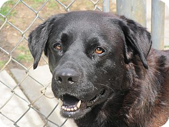 Wolfie adopted dog house springs mo akita labrador for Dog house for labrador retriever