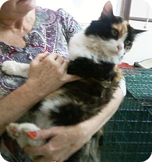 Calico Cat for adoption in Chesterland, Ohio - Jerry