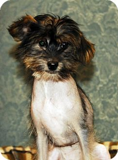 Chinese Crested Mix Puppy for adoption in Toronto, Ontario - Braxton
