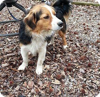 Sheltie, Shetland Sheepdog/Border Collie Mix Dog for adoption in Allentown, Pennsylvania - Rascal