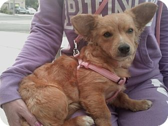 Corgi/Dachshund Mix Puppy for adoption in Encinitas, California - Vicki
