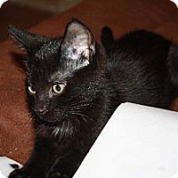 Domestic Shorthair Cat for adoption in Cypress, Texas - Merlot
