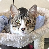 Domestic Shorthair Cat for adoption in Westminster, California - Callista