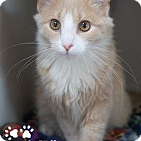 Adopt A Pet :: Puff - Merrifield, VA