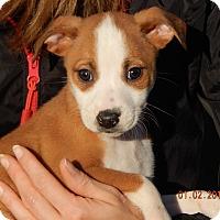 Adopt A Pet :: Liberty (5 lb) Unique Pup! - Sussex, NJ
