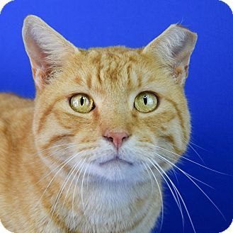 Domestic Shorthair Cat for adoption in Carencro, Louisiana - Marvin