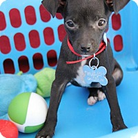 Adopt A Pet :: Junior Mint - Phoenix, AZ