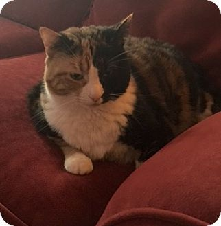 Calico Cat for adoption in Plainville, Connecticut - Prudence